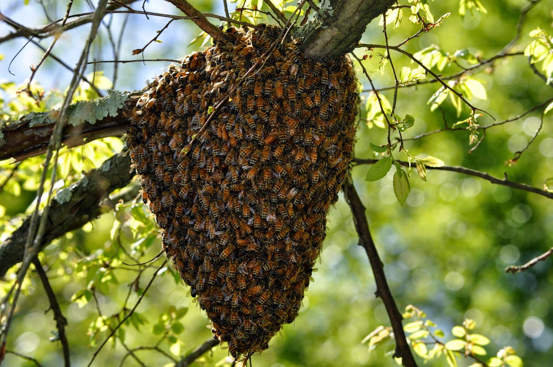 got a swarm treasure valley beekeepers club